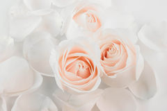 Roses with petals Royalty Free Stock Photos