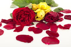 Roses with petals Stock Photos