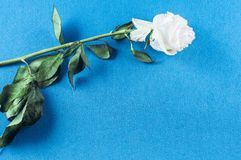 Roses and petals flowers on different backgrounds stock image