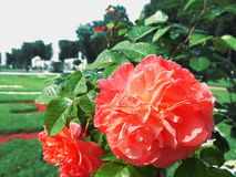 Roses of Peterhof. Roses after the rain in Peterhof in details Royalty Free Stock Photos