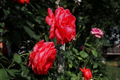 Roses. Photography of red and pink roses in the garden Royalty Free Stock Photo