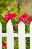 Roses on picket fence. Red roses growing along white picket fence Stock Images