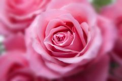 Roses, Pink, Family, Rose Family Stock Photos