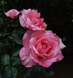 Roses. Pink roses and leaves on a rainy day royalty free stock photo