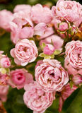 Roses pink Royalty Free Stock Photography