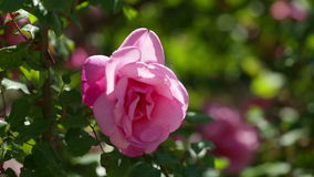 Roses plant. In spring  garden stock video footage