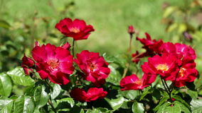 Roses plant in spring  garden. Blossoming roses plant in spring  garden stock video footage