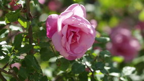Roses plant in spring  garden. Blossoming roses plant in spring  garden stock video