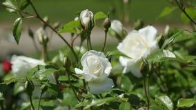 Roses plant in spring  garden stock video