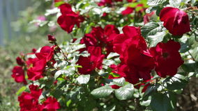 Roses plant in spring  garden stock video footage