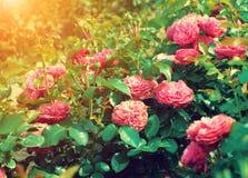 Roses plantation Stock Photography