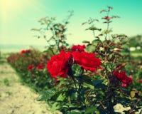Roses plantation Royalty Free Stock Photos