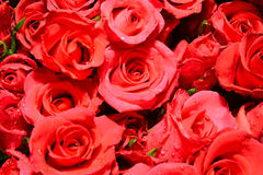Roses. Plenty red natural roses seamless background Stock Photo
