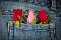 Roses in pocket Royalty Free Stock Image