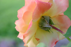 A Roses Point of View. Backview of a pink,yellow,orange rose in full bloom stock images