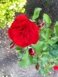 Roses. Poppies poppies poppies poppies poppies stock image