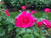 Roses in Portland Oregon testgarden rosegarden pink. Arbor red redrose White lavendar Pink roses in Portland Oregon hedgerows Stock Photos