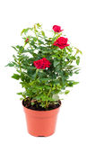 Roses in pot Stock Images