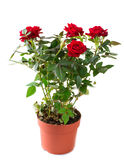 Roses in a Pot. Red Roses in a Pot Isolated on White stock photography