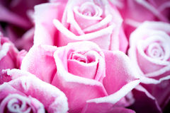 Roses pour vous Image stock