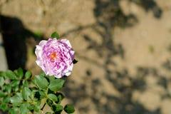 Roses pourpres dans la vue supérieure de jardin Photos libres de droits