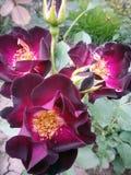 Roses pourpres foncées Photos stock