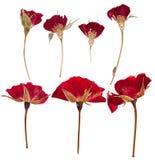 Roses pressées de fleurs d'isolement Photos libres de droits