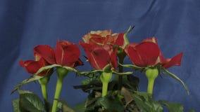 Roses qui fleurissent banque de vidéos