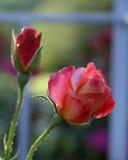 Roses rétro-éclairées Images stock