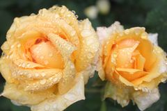 Roses in the rain Royalty Free Stock Image