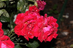 Roses after rain. Roses after a rainstorm. Raindrops on Roses.  Red roses Royalty Free Stock Images