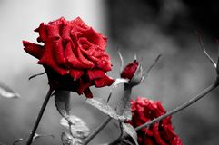 Roses after rain. Red beautiful roses in the garden after the rain Royalty Free Stock Images