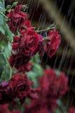 Garden Red Roses Flowers Rain Stock Images
