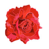 Roses red. Roses red beautiful garden flower decorative simple vector illustration stock illustration