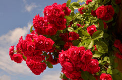 Roses. Red roses bush against the blue sky Stock Images