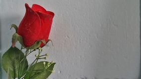 Roses Red Stock Photography