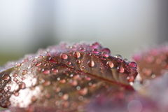 Roses. Red leaf rose wet with drops of water Stock Images