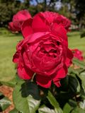 Roses. Red roses in McKennon Park royalty free stock images