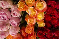 Roses red orange and pink. A rose is a woody perennial of the genus Rosa, within the family Rosaceae. There are over 100 species and thousands of cultivars. They Stock Photos
