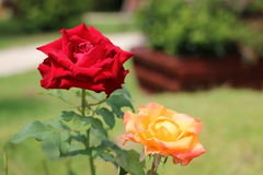 2 Roses. Red and Orange Rose standing for the sunny day Stock Images