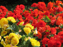 Roses. Red roses , rose bushes in the Park Stock Photography
