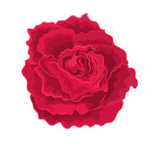 Roses red simple. Roses red beautiful garden flower decorative simple vector EPS 8 illustration Royalty Free Stock Images