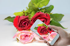 Roses Red to pink. Background Royalty Free Stock Photo