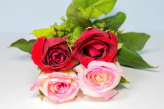 Roses Red to pink Background. Fragrant flowers Royalty Free Stock Images