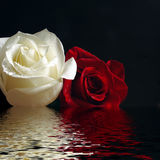 Roses red and white. Red and white roses with water drop reflecting in water Stock Photography