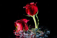 Roses rising from stirred water. Royalty Free Stock Photo