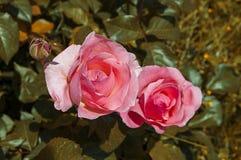 Roses, roRoses de symbole d'amour, roses pour le jour de l'amour, les plus merveilleuses roses naturelles appropriées au web desi Photo stock