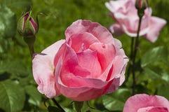 Roses, roRoses de symbole d'amour, roses pour le jour de l'amour, les plus merveilleuses roses naturelles appropriées au web desi Image libre de droits