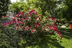 Roses, roRoses de symbole d'amour, roses pour le jour de l'amour, les plus merveilleuses roses naturelles appropriées au web desi Photographie stock libre de droits