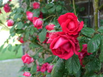 Roses. A rose bush Royalty Free Stock Image